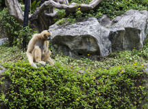 White cheeked gibbon Royalty Free Stock Photography