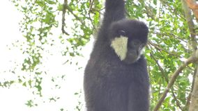 White cheeked gibbon on tree stock video footage
