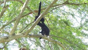 White cheeked gibbon on tree stock video