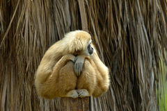 White Cheeked Gibbon at the zoo Royalty Free Stock Photos