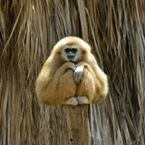 White Cheeked Gibbon at the zoo Royalty Free Stock Photo