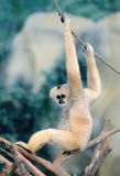 White cheeked gibbons Royalty Free Stock Images