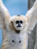 White cheeked gibbons. With arms raised over head Royalty Free Stock Image