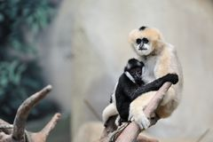 White-cheeked gibbons Stock Photography
