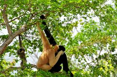 White-cheeked gibbons Royalty Free Stock Photography
