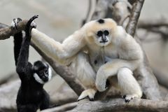 White cheeked gibbons mother and baby Stock Photography