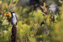 White-cheeked honeyeater (Phylidonyris niger) Stock Image