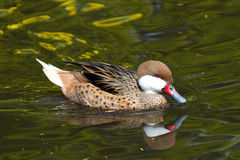 White Cheeked Pintail Stock Photography