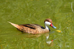 White-cheeked Pintail Stock Photography