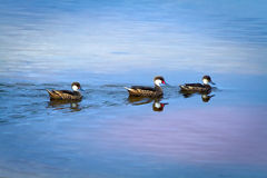 White-cheeked pintail duck in the Galapagos Royalty Free Stock Photography