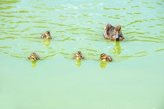 White-cheeked Pintail Duck and Its Baby Ducks  1 Stock Photos