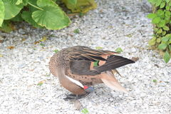 White cheeked pintail. We saw at Seaworld Orlando Royalty Free Stock Image