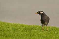 White cheeked Starling Royalty Free Stock Images