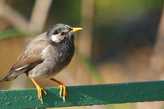 White-cheeked Starling Stock Images