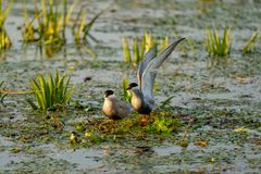 White cheeked Tern family nest on water in Danube Delta, Romania. A common sighting for tourist visiting Danube Delta for birdwatching or for pleasure stock photo