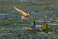 White-cheeked tern family nesting in Danube Delta. A common sighting for tourists visiting Danube Delta for birdwatching, for fishing or for pleasure royalty free stock image