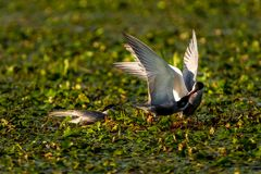 White-cheeked Tern males Sterna Repressa fighting for teritory. In Danube Delta. A common sighting for tourists visiting Danube Delta for birdwatching, for Royalty Free Stock Image