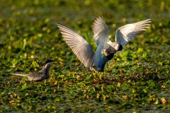 White-cheeked Tern males Sterna Repressa fighting for teritory. In Danube Delta. A common sighting for tourists visiting Danube Delta for birdwatching, for Royalty Free Stock Images