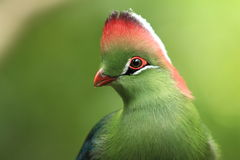 White-cheeked turaco Royalty Free Stock Photos