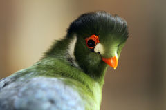 White-Cheeked Turaco. Closeup of a rare White-Cheeked Turaco against a blurred background Royalty Free Stock Photo