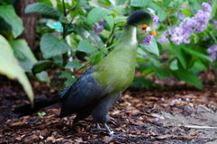 White-cheeked Turaco Royalty Free Stock Photography
