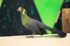 White-cheeked turaco Royalty Free Stock Images