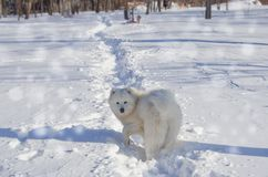 White cheerful dog runs in the winter on the snow in the park.  Royalty Free Stock Photos