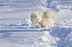 White cheerful dog runs in the winter on the snow in the park.  Royalty Free Stock Image