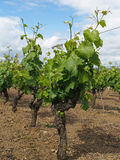 White Chenin vineyard after blossoming, Layon, France Stock Photo