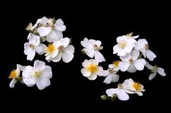 White Cherokee Roses Royalty Free Stock Photos