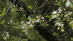 White cherry blooming branches swaying. In the wind stock video footage
