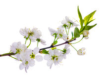 White cherry blooming close-up Stock Images