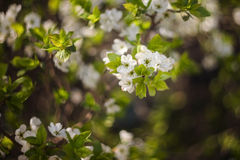 White cherry. Blooming white cherry, close-up, surrounded by foliage Stock Images