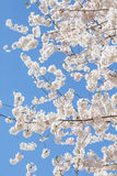 White Cherry Blooms on Blue Sky. Pink and White Cherry Tree Backlit with Blue sky Royalty Free Stock Photo