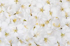 White cherry bloosom backgroun Royalty Free Stock Photography