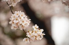 White Cherry Blossom Stock Images