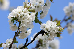 White Cherry blossom Stock Photo