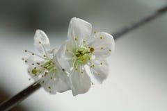 White cherry blossom. Macro close-up of white cherry blossom Stock Image