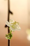 White cherry blossom. Macro close-up of white cherry blossom Royalty Free Stock Photography