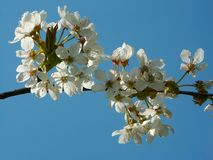 White cherry blossoms. Branch of a cherry tree in blossom Stock Photography