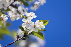 White cherry blossom against a blue sky Royalty Free Stock Photo