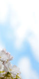 White Cherry Blossom Against Blue Sky Background Royalty Free Stock Image