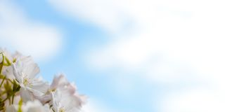 White Cherry Blossom Against Blue Sky Background Royalty Free Stock Photos