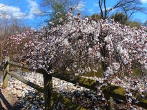 White Cherry Blossom Against Blue Sky. White cherry blossom tree against a bright blue sky in spring, 2018; Cohanzick Zoo, Bridgeton, New Jersey Royalty Free Stock Photo