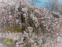 White Cherry Blossom Against Blue Sky. White cherry blossom tree against a bright blue sky in spring, 2018; Cohanzick Zoo, Bridgeton, New Jersey Royalty Free Stock Image