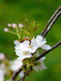 White Cherry Blossom Against Green Background Royalty Free Stock Photography
