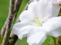 White Cherry Blossom Against Green Background Stock Photo