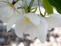 A White Cherry Blossom Blooms. A beautiful white cherry blossoms blooms on a tree in the early Spring Royalty Free Stock Photos