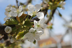 White cherry blossom. S on a branch Stock Photo