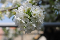 White cherry blossom. S on a branch Royalty Free Stock Image